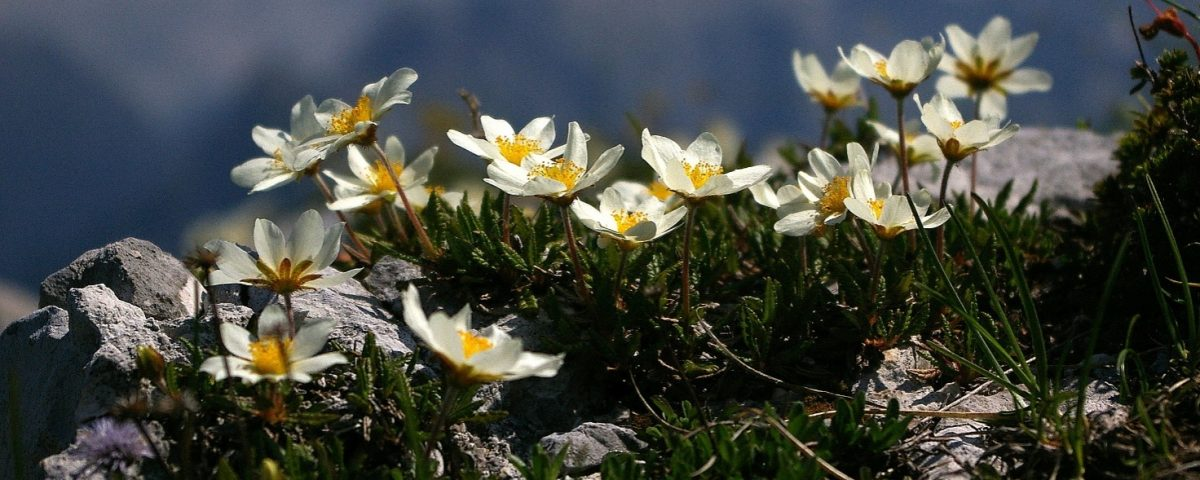 visokogorske_rastline